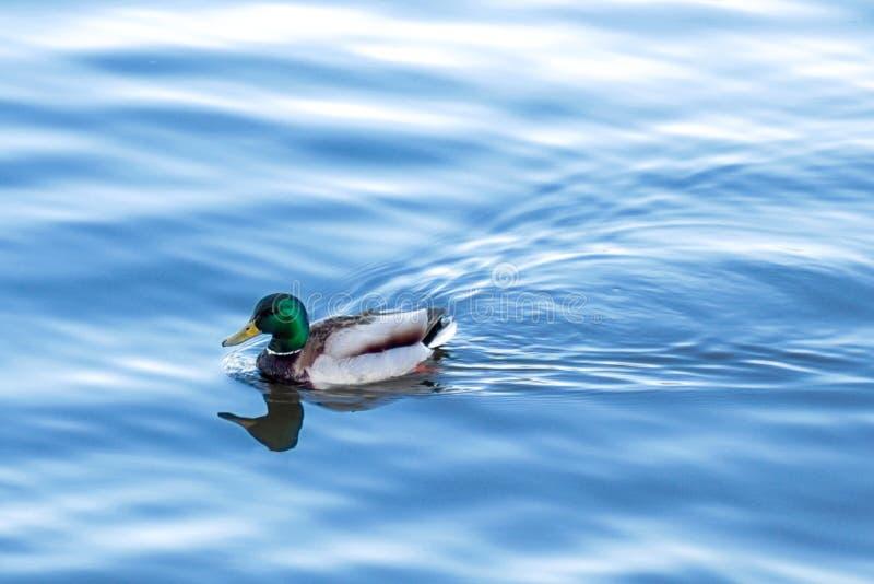 El hábitat natural de patos salvajes en naturaleza imagen de archivo