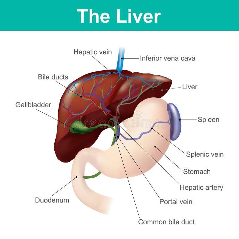 El hígado es el único órgano interno humano capaz de natural con referencia a libre illustration