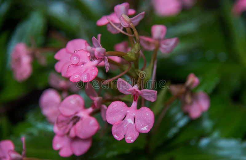 El Habenaria Rosado-labiado (Dragon Flower rápido rosado) encontró en tro fotografía de archivo