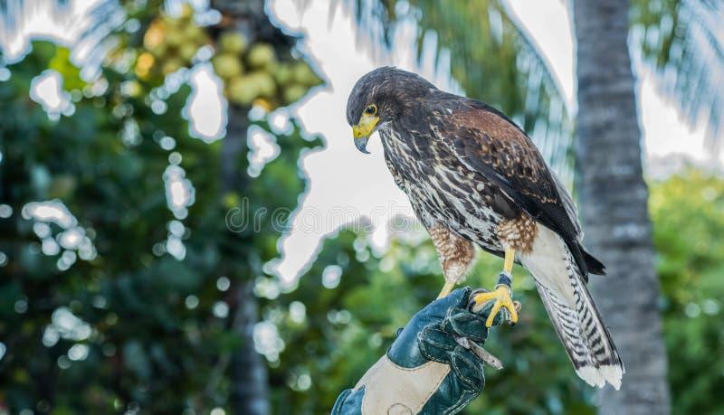 El halcón de Harris del cautivo (unicinctus de Parabuteo) usado para la cetrería foto de archivo libre de regalías