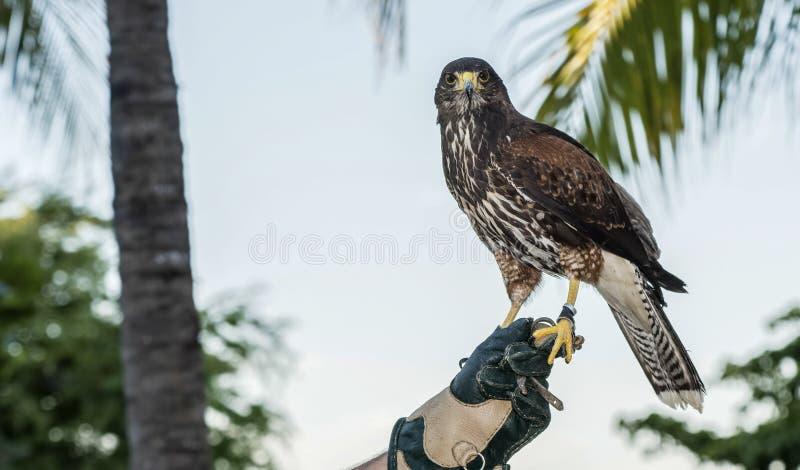 El halcón de Harris del cautivo (unicinctus de Parabuteo) usado para la cetrería en un centro turístico en Mexcio imágenes de archivo libres de regalías