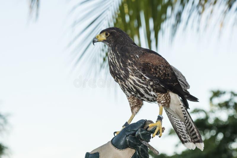 El halcón de Harris del cautivo (unicinctus de Parabuteo) usado para la cetrería en un centro turístico mexicano imagenes de archivo