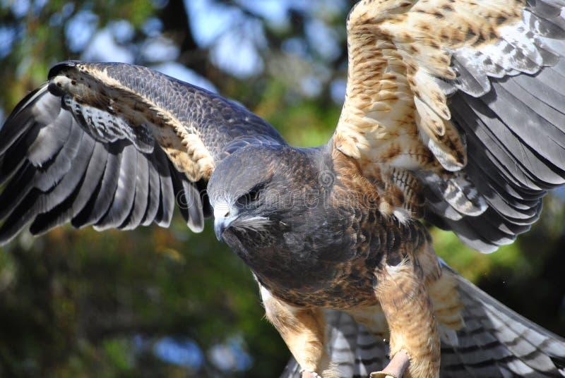 El halcón de Swainson fotografía de archivo