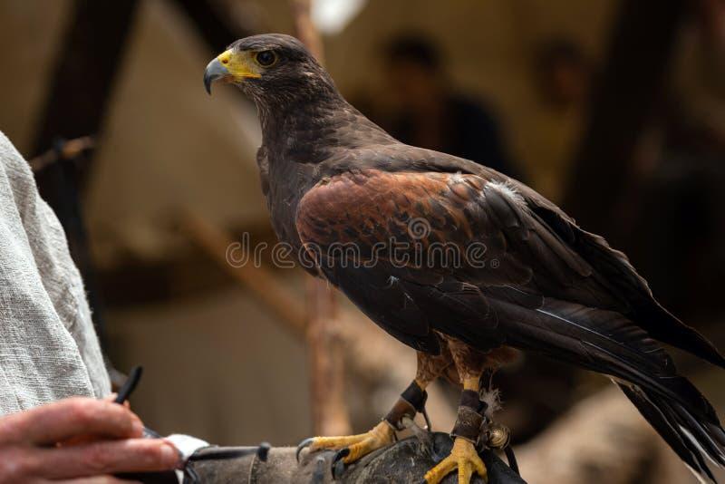El halcón del marrón del peregrino con las garras que se sientan en la protección de cuero encendido sirve la mano Halcón salvaje imagen de archivo libre de regalías