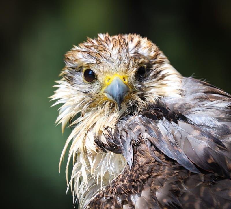 El halcón del saker, cherrug de Falco, es una especie grande de halcón fotos de archivo libres de regalías