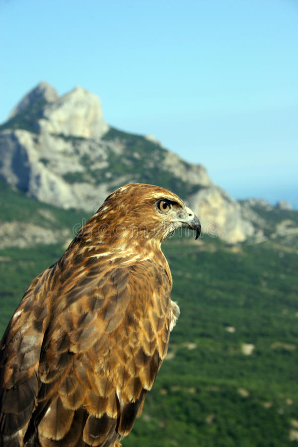 El halcón mira hacia fuera para la extracción, sentándose encendido a foto de archivo libre de regalías