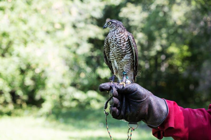 El halcón se sienta en una mano en un guante de cuero especial contra un fondo del follaje verde imagenes de archivo