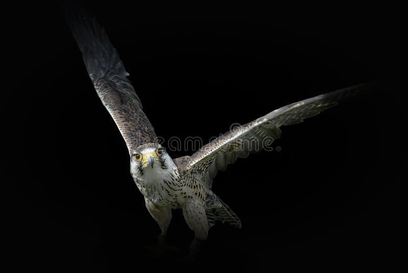 El halcón vuelve imagen de archivo libre de regalías