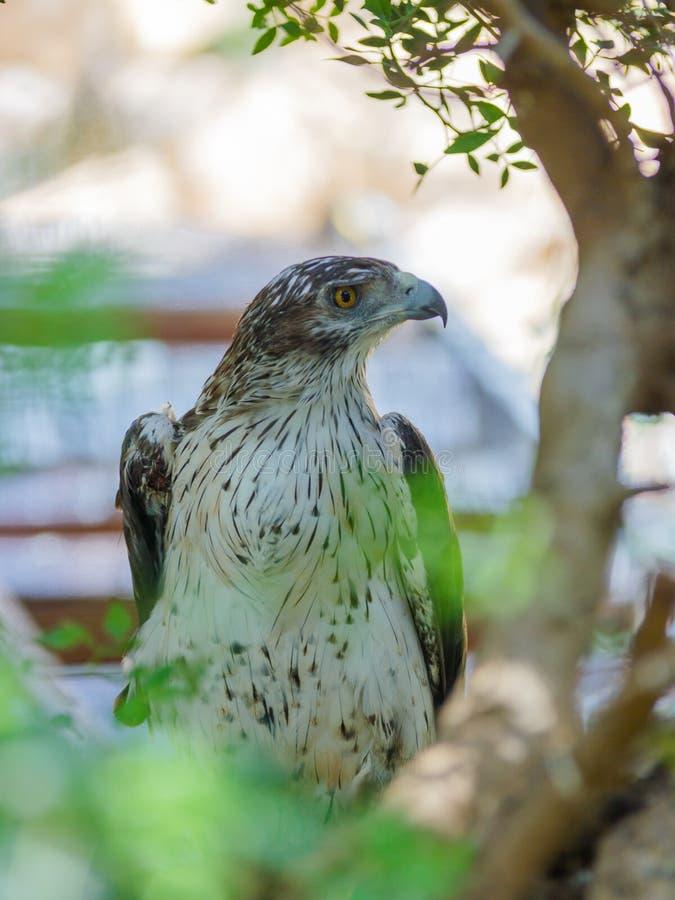 El halcón zanquilargo se está sentando en un árbol imagenes de archivo