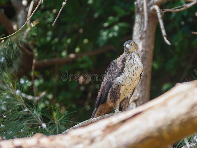 El halcón zanquilargo se está sentando en un árbol imagen de archivo libre de regalías