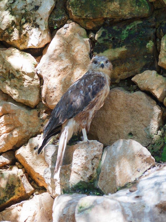 El halcón zanquilargo se está sentando en una roca fotografía de archivo