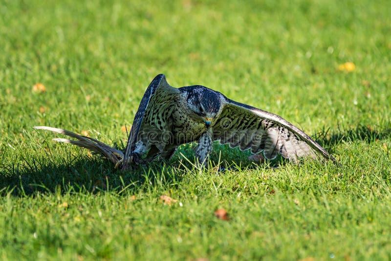 El halc?n del saker, cherrug de Falco en un parque de naturaleza alem?n imagen de archivo