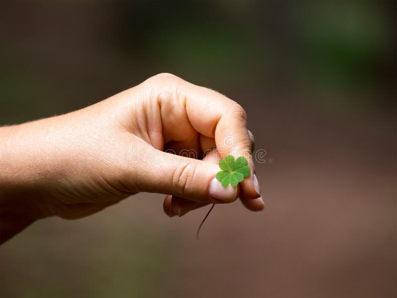 El hallazgo, un símbolo de la buena suerte - trébol Rhodop de las cuatro-hojas imagenes de archivo