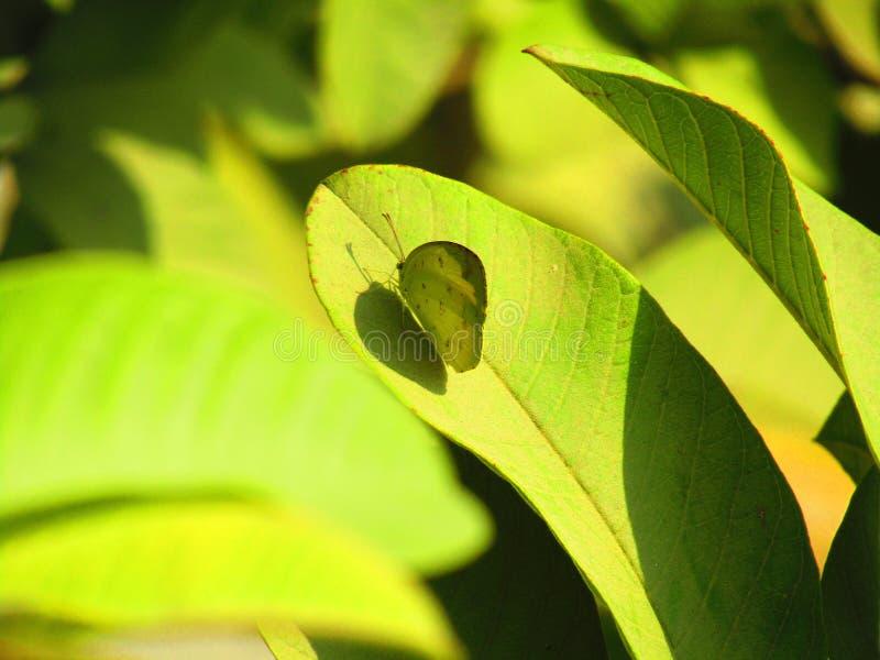 El hecabe de Eurema, el amarillo común de la hierba es una pequeña especie de la mariposa de pierid encontrada en Asia, África y  fotografía de archivo libre de regalías