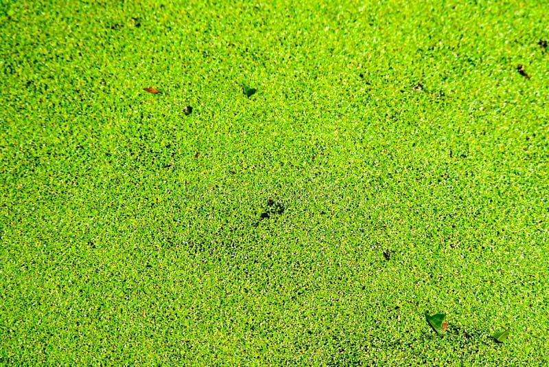 el helecho de mosquito tiene hojas verdes y amarillas del color y de la ca?da en superficie del agua fotos de archivo libres de regalías