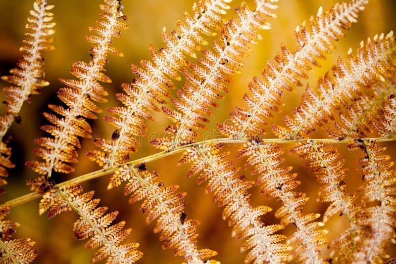 El helecho envejecido sale de la visi?n macra Modelo amarillo marr?n envejecido del filix-mas del Dryopteris de la planta del bos imagenes de archivo