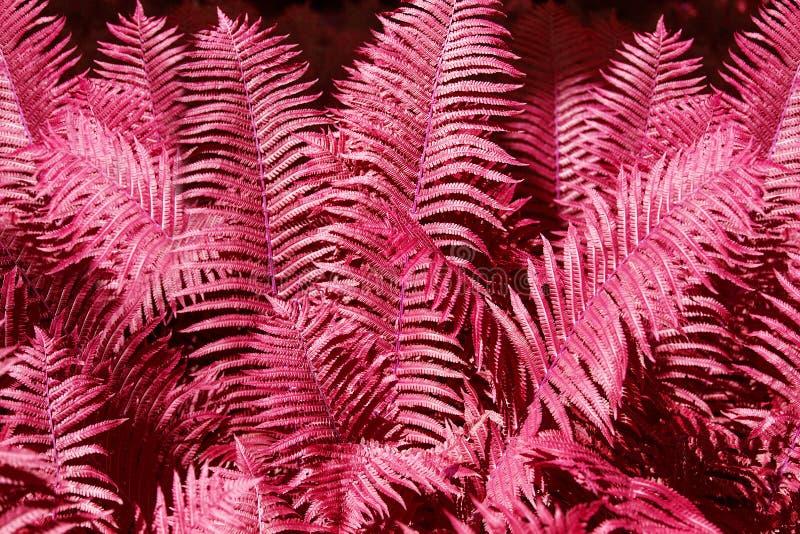 El helecho rosado abstracto sale de cierre del fondo para arriba, textura fantástica del follaje del helecho del color rojo, hoja fotografía de archivo libre de regalías