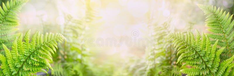 El helecho se va en el fondo borroso de la naturaleza, bandera imágenes de archivo libres de regalías