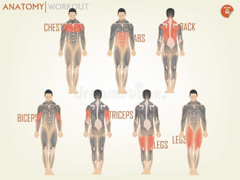 El hermoso diseño de anatomía para resolverse en el gimnasio consiste en el pecho stock de ilustración