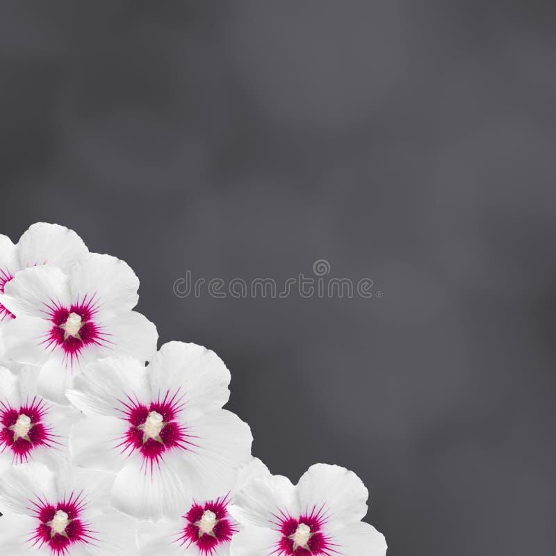 El hibisco blanco florece, hibisco Rosa-sinensis, chino del hibisco, conocido como la malva color de rosa, ennegrece el fondo de  imagen de archivo