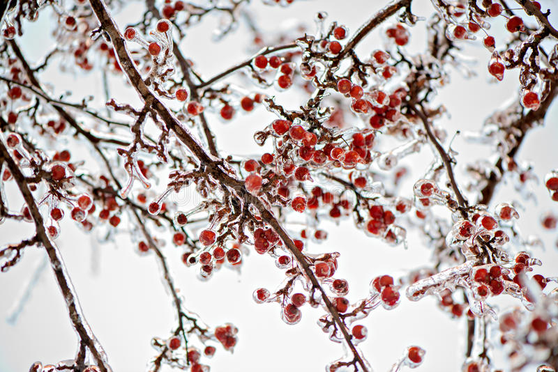 El hielo congelado cubrió manzanas de cangrejo en un árbol fotos de archivo libres de regalías