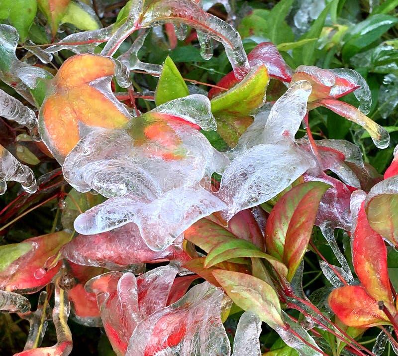 El hielo cubrió invierno del diseño floral de las plantas y de las hojas foto de archivo