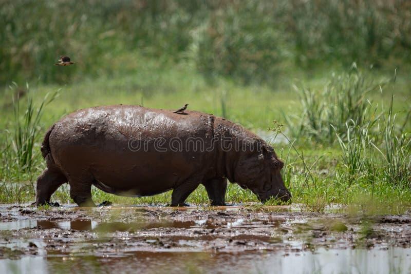 El hipopótamo cruza el pantano con la parte posterior del pájaro encendido fotos de archivo