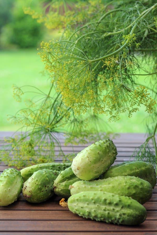 El hogar produce los pepinos derecho del jardín con eneldos borrosos en el fondo foto de archivo libre de regalías