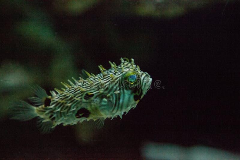 El holocanthus del Diodon del Balloonfish nada a lo largo de un filón marino fotos de archivo libres de regalías