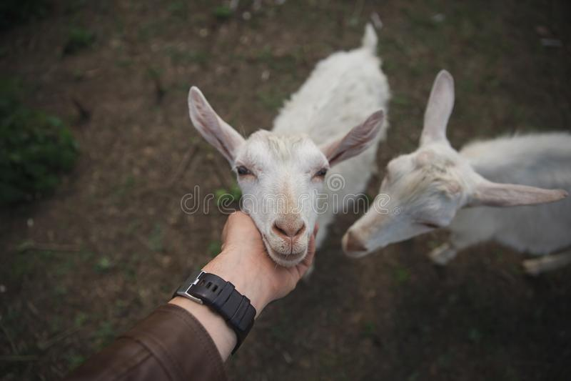 El hombre acaricia una cabra blanca en una granja fotografía de archivo libre de regalías