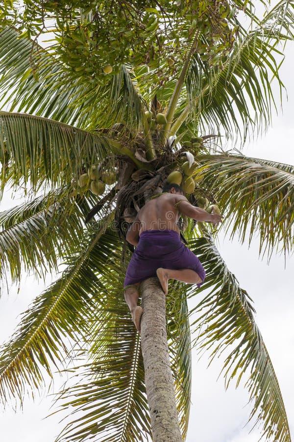 El hombre coge el coco de la palmera fotografía de archivo libre de regalías