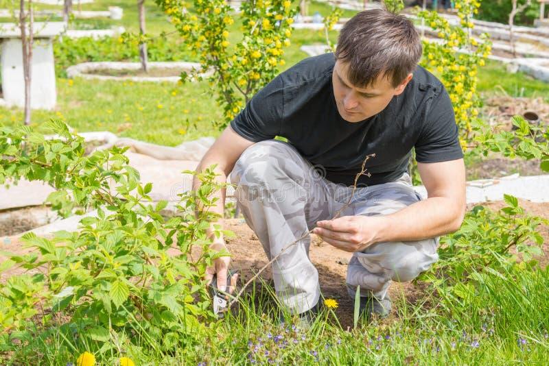 El hombre cortó las ramitas secas en los arbustos de frambuesa en su cabaña del verano foto de archivo