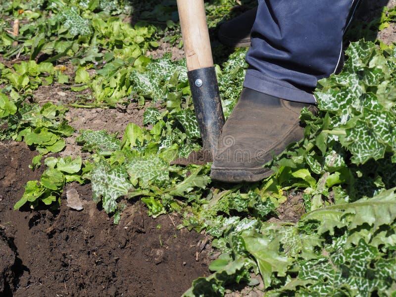 El hombre cultiva la tierra desentierra el trabajo manual de la agricultura de la primavera del huerto en el trabajo arable de la imagen de archivo libre de regalías