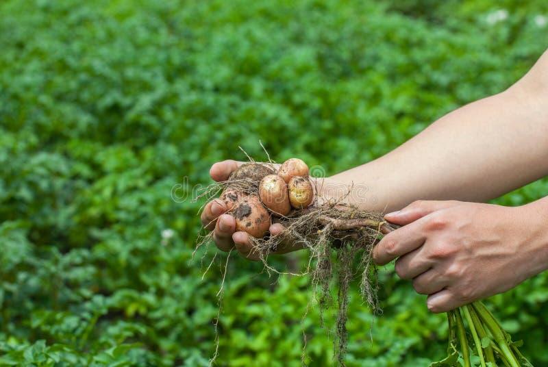 El hombre es agrónomo, él está sosteniendo un arbusto de patatas jovenes foto de archivo