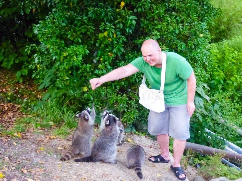 El hombre está alimentando mapaches Domesticación de animales salvajes imagen de archivo