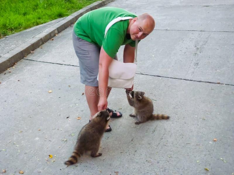 El hombre está alimentando mapaches Domesticación de animales salvajes foto de archivo libre de regalías