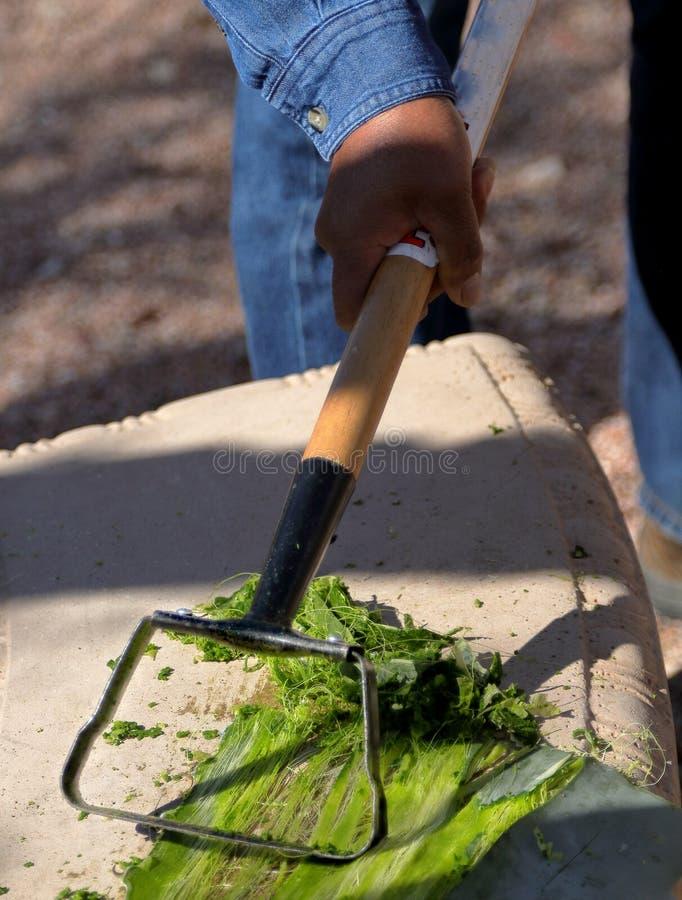 El hombre está raspando la hoja del agavo en la preparación de hacer una cuerda foto de archivo