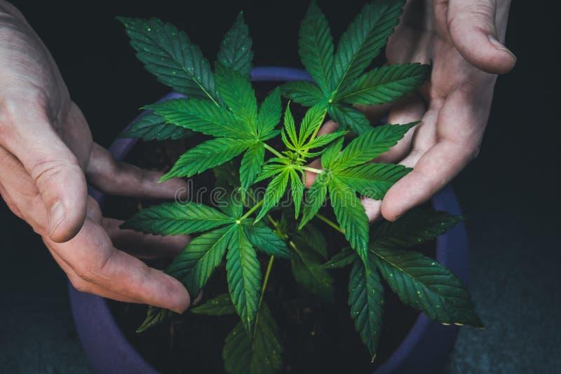 El hombre está sosteniendo las hojas de la planta de marijuana médica Cáñamo que crece interior fotos de archivo libres de regalías