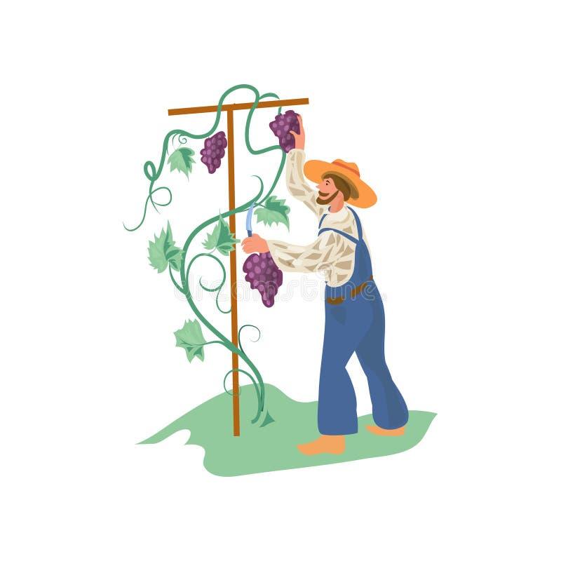 El hombre lindo, feliz del granjero está recogiendo las uvas en jardín ilustración del vector