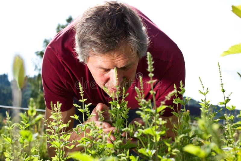El hombre mayor en su jardín huele en la hierbabuena imagenes de archivo