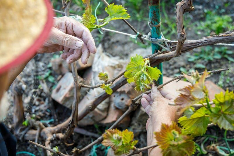 El hombre mayor lleva a cabo una rama de la uva en manos arrugadas imagen de archivo libre de regalías