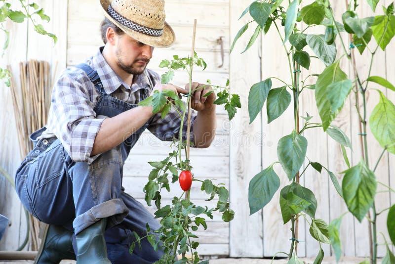 El hombre que trabaja en el lazo del huerto encima de las plantas de tomate, toma cuidado para hacer que crecen fotografía de archivo