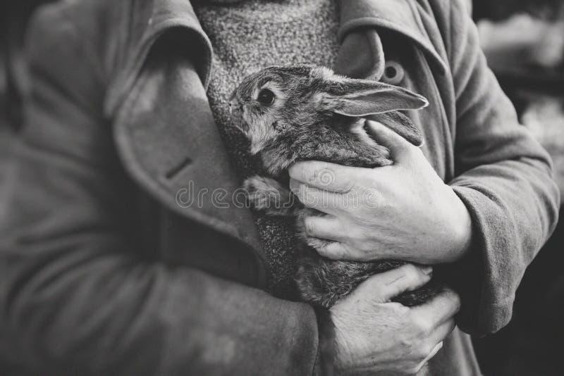 El hombre sostiene el conejo mullido gris que las manos presionaron el pecho fotografía de archivo