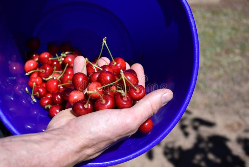 El hombre sostiene puñado de cerezas dulces recientemente escogidas imágenes de archivo libres de regalías