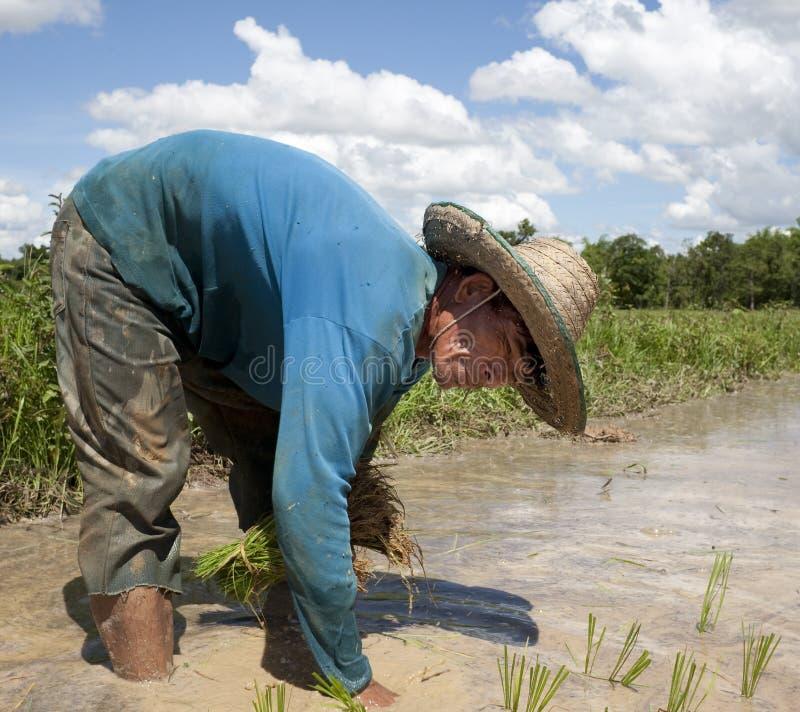 El hombre trabaja en el campo de arroz, Asia fotografía de archivo