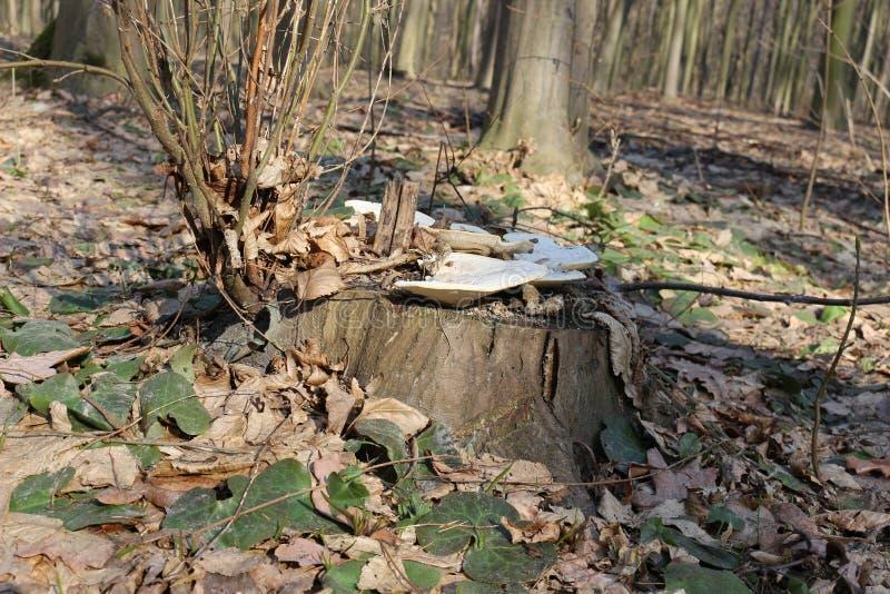 El hongo blanco del árbol crece en un tocón en el bosque de la primavera imagen de archivo libre de regalías