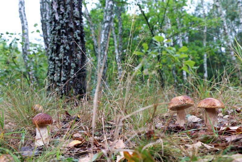 El hongo blanco tres crece en madera imagenes de archivo