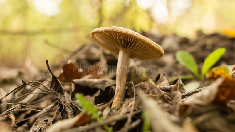 El hongo no comestible crece en el bosque al aire libre fotografía de archivo