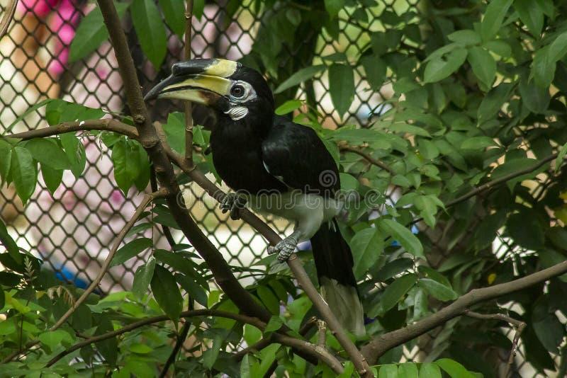 El Hornbill de varios colores oriental es el hornbill más pequeño de Tailandia fotografía de archivo libre de regalías