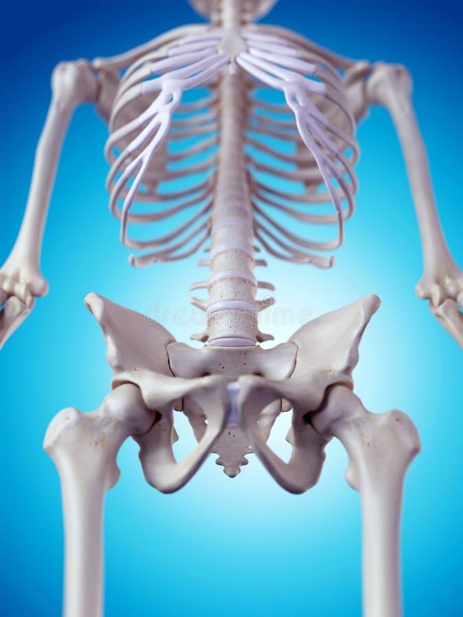 El hueso de la cadera stock de ilustración. Ilustración de pelvis ...